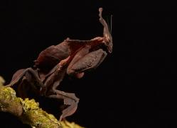 ghost-mantis-copyright-photographers-on-safari-com-8596