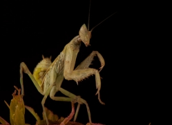 giant-asian-mantis-copyright-photographers-on-safari-com-8599
