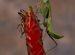 giant-asian-praying-mantis-copyright-photographers-on-safari-com-8131
