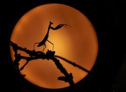 giant-asian-praying-mantis-copyright-photographers-on-safari-com-8132