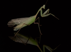 giant-asian-praying-mantis-copyright-photographers-on-safari-com-8133