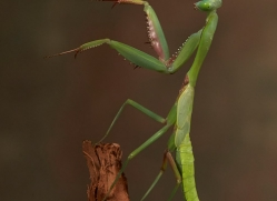 giant-asian-praying-mantis-copyright-photographers-on-safari-com-8136
