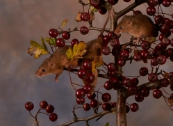 harvest-mouse-copyright-photographers-on-safari-com-8139