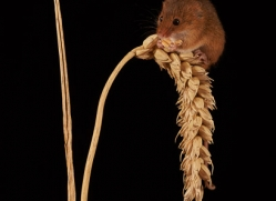 harvest-mouse-copyright-photographers-on-safari-com-8145