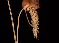 harvest-mouse-copyright-photographers-on-safari-com-8146