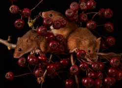 harvest-mouse-copyright-photographers-on-safari-com-8147