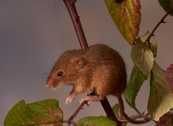 harvest-mouse-copyright-photographers-on-safari-com-8150