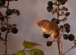 harvest-mouse-copyright-photographers-on-safari-com-8151