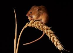 harvest-mouse-copyright-photographers-on-safari-com-8153