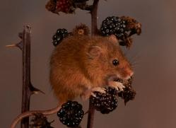 harvest-mouse-copyright-photographers-on-safari-com-8154
