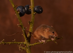 harvest-mouse-copyright-photographers-on-safari-com-8607