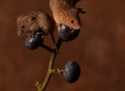 harvest-mouse-copyright-photographers-on-safari-com-8608
