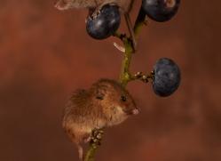 harvest-mouse-copyright-photographers-on-safari-com-8609