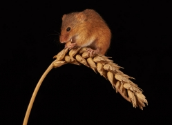 harvest-mouse-copyright-photographers-on-safari-com-8612