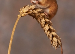 harvest-mouse-copyright-photographers-on-safari-com-8615