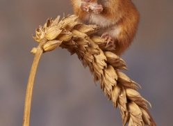 harvest-mouse-copyright-photographers-on-safari-com-8616