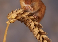 harvest-mouse-copyright-photographers-on-safari-com-8617