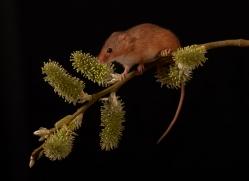 harvest-mouse-copyright-photographers-on-safari-com-8622