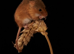 harvest-mouse-copyright-photographers-on-safari-com-8623