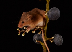 harvest-mouse-copyright-photographers-on-safari-com-8625