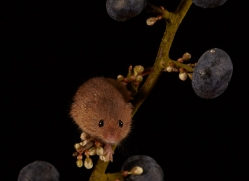harvest-mouse-copyright-photographers-on-safari-com-8626