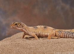 leopard-gecko-copyright-photographers-on-safari-com-8161