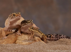 leopard-gecko-copyright-photographers-on-safari-com-8162