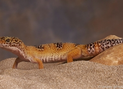 leopard-gecko-copyright-photographers-on-safari-com-8163