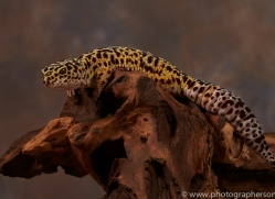 leopard-gecko-copyright-photographers-on-safari-com-8627