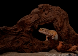 leopard-gecko-copyright-photographers-on-safari-com-8628