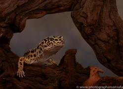 leopard-gecko-copyright-photographers-on-safari-com-8629