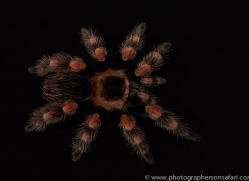 mexican-red-knee-tarantula-copyright-photographers-on-safari-com-8165