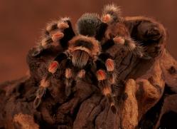 mexican-red-knee-tarantula-copyright-photographers-on-safari-com-8630