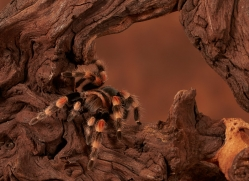 mexican-red-knee-tarantula-copyright-photographers-on-safari-com-8631