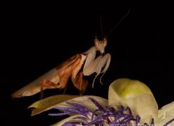 orchid-mantis-copyright-photographers-on-safari-com-8168