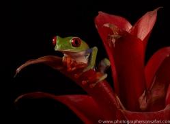 red-eyed-tree-frog-tarantula-copyright-photographers-on-safari-com-8635