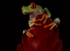 red-eyed-tree-frog-tarantula-copyright-photographers-on-safari-com-8638