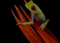 red-eyed-tree-frog-tarantula-copyright-photographers-on-safari-com-8640