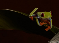 red-eyed-tree-frog-tarantula-copyright-photographers-on-safari-com-8642