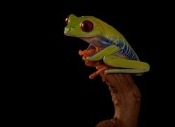 red-eyed-tree-frog-tarantula-copyright-photographers-on-safari-com-8644