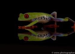 red-eyed-tree-frog-tarantula-copyright-photographers-on-safari-com-8646