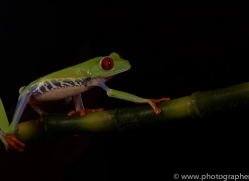 red-eyed-tree-frog-tarantula-copyright-photographers-on-safari-com-8647