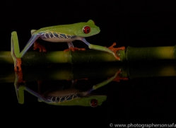 red-eyed-tree-frog-tarantula-copyright-photographers-on-safari-com-8648