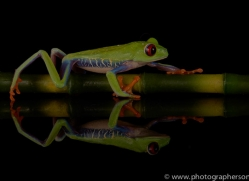 red-eyed-tree-frog-tarantula-copyright-photographers-on-safari-com-8657