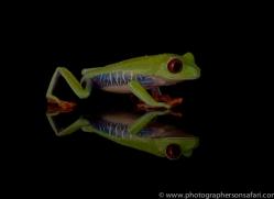 red-eyed-tree-frog-tarantula-copyright-photographers-on-safari-com-8658