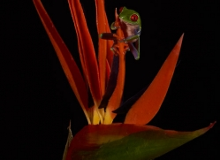 red-eyed-treefrog-copyright-photographers-on-safari-com-8171