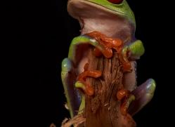 red-eyed-treefrog-copyright-photographers-on-safari-com-8173