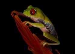 red-eyed-treefrog-copyright-photographers-on-safari-com-8174