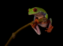 red-eyed-treefrog-copyright-photographers-on-safari-com-8175