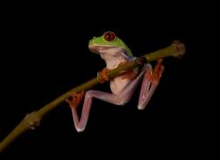 red-eyed-treefrog-copyright-photographers-on-safari-com-8176